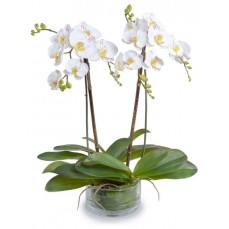 Phalaenopsis Orchid in White at Alamo Heights Flowers and More