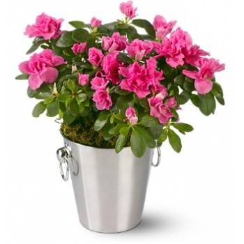 Adorable Azalea by Alamo Heights Flowers and More