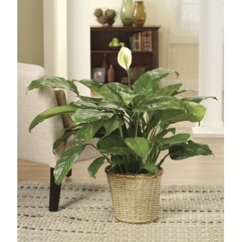 Classic Peace Lily by Alamo Heights Flowers and More