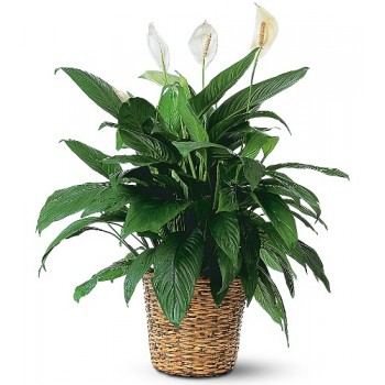 Large Spathiphyllum Plant by Alamo Heights Flowers and More